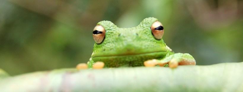 Eat the frog - not literally, of course, but in a language learning sense! Image from freeimages.com.