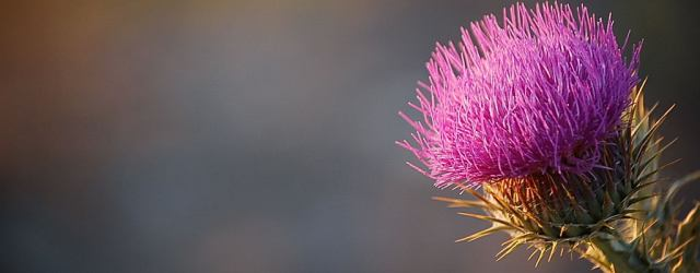 A thistle. Learn Gaelic, know Scotland a little better. Image from freeimages.com