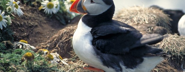 An Icelandic puffin. Image from freeimages.com
