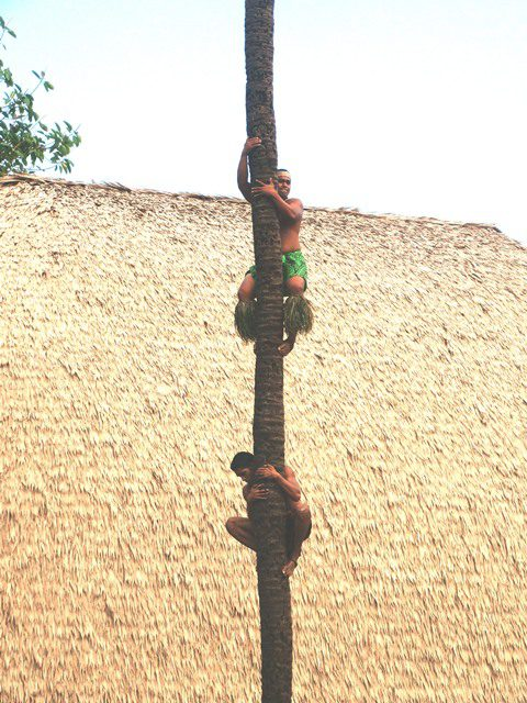 Photo of Samoan villages climbing a coconut tree at The Polynesian Cultural Center
