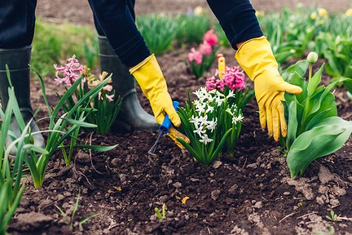 Farmer loosening soil with hand fork among spring flowers in garden.