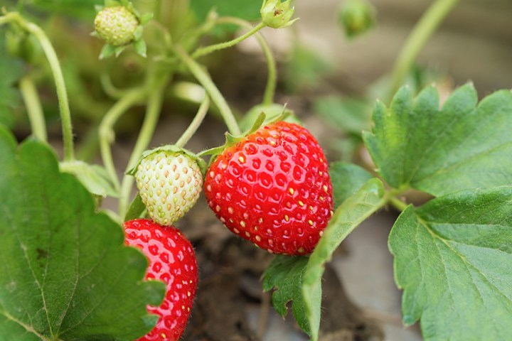 closeup of fresh red strawberries with planting