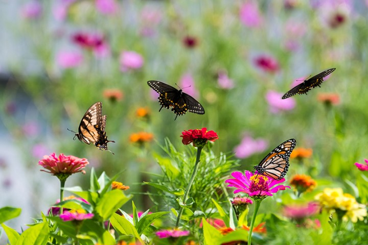 Amazing butterflies in a zinnia garden. Black swallowtail, yellow swallowtail, and monarch butterflies feeding and flying in a riot of color.