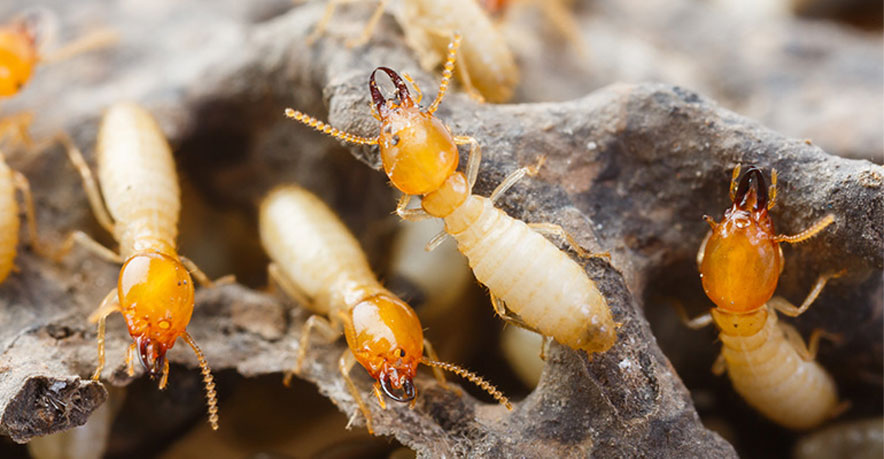 Termite control in effect