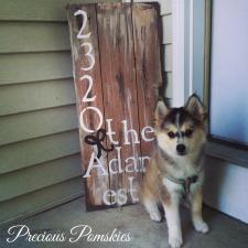 Pomsky Hund