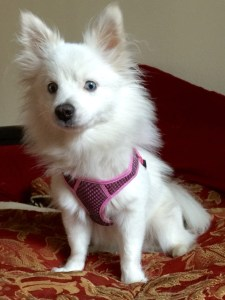 Pure white stunner Pomsky Paris blue eyes