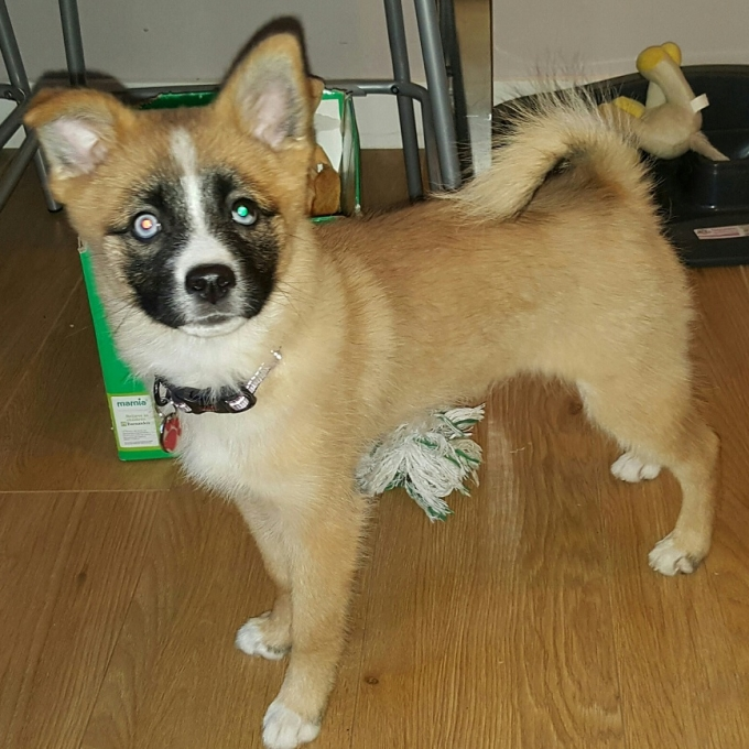 Pomeranian-husky puppy