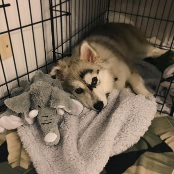 Plush Husky laying in crate popomsky Instagram blanket, crate, toys