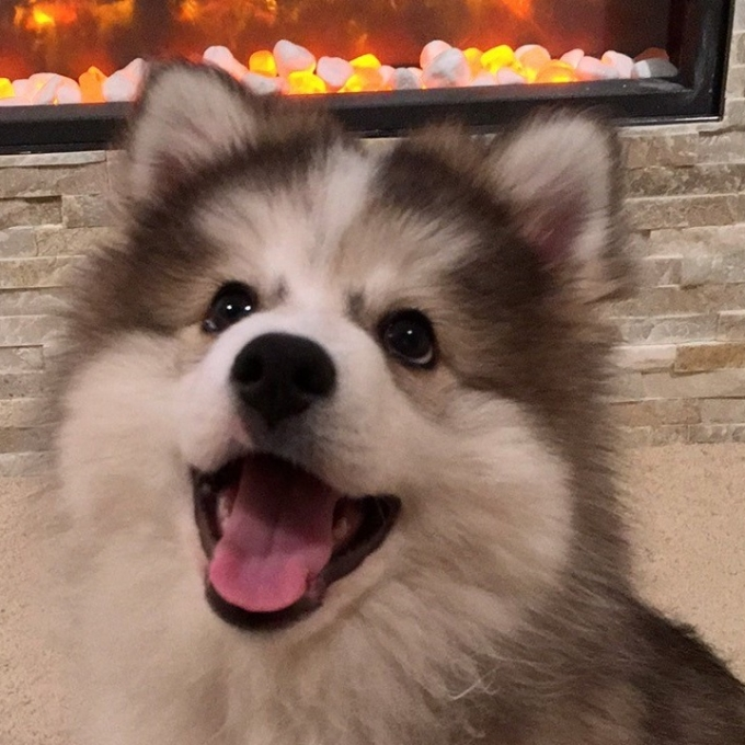 Pomsky Puppy sitting