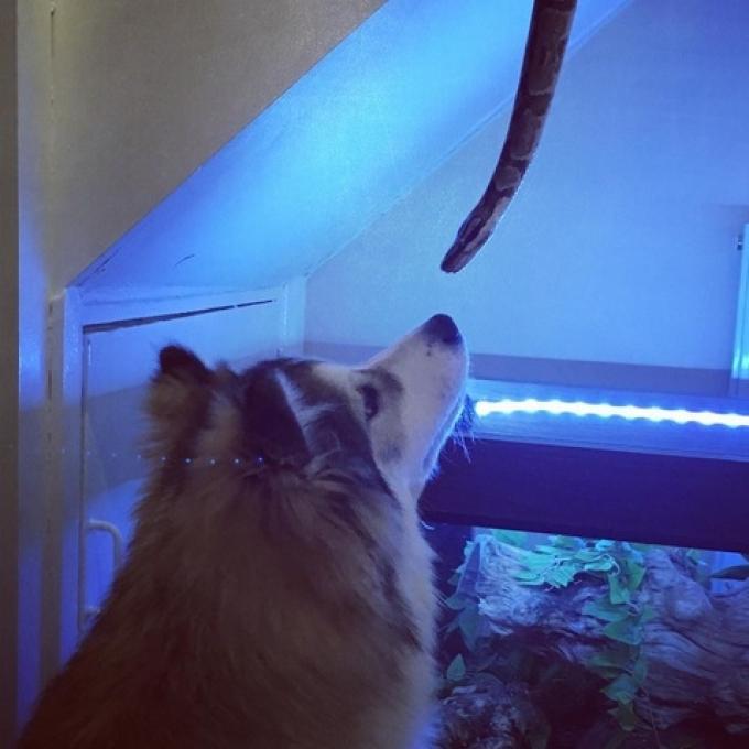 Mowgli the Pomsky sniffing Boa