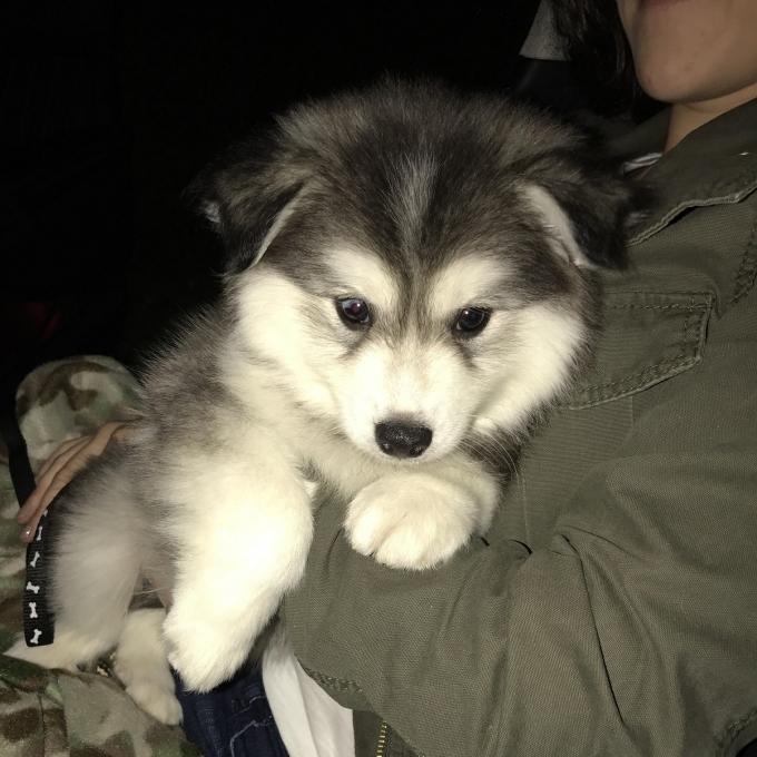Pomsky of the Day Puppy