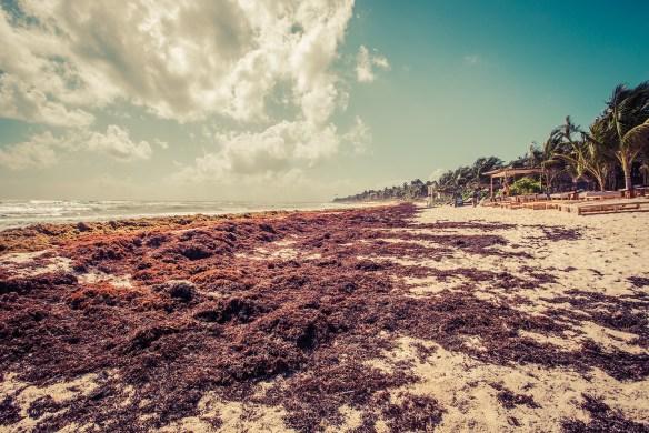 tulum_beach_seaweed