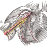 Upper Limb Anatomy: The Axilla