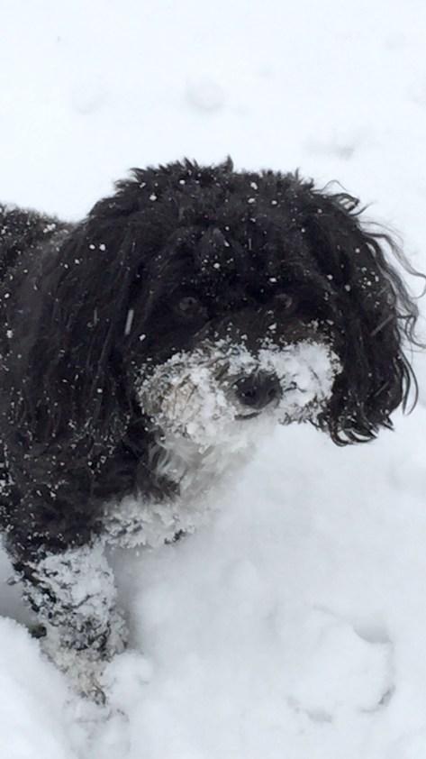 Havanese freezing in the snow