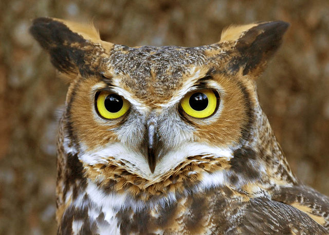 (Near a) Farm Living is the Life for Me - Great horned owl