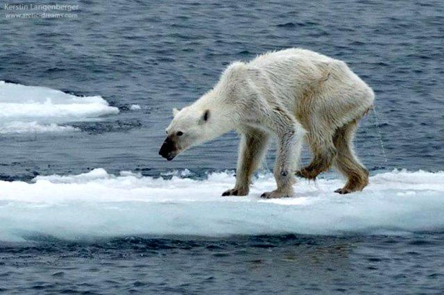 polar-bear-extinction-001