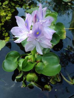 Clear Water Pond Plants  Hydrosphere Water Gardens