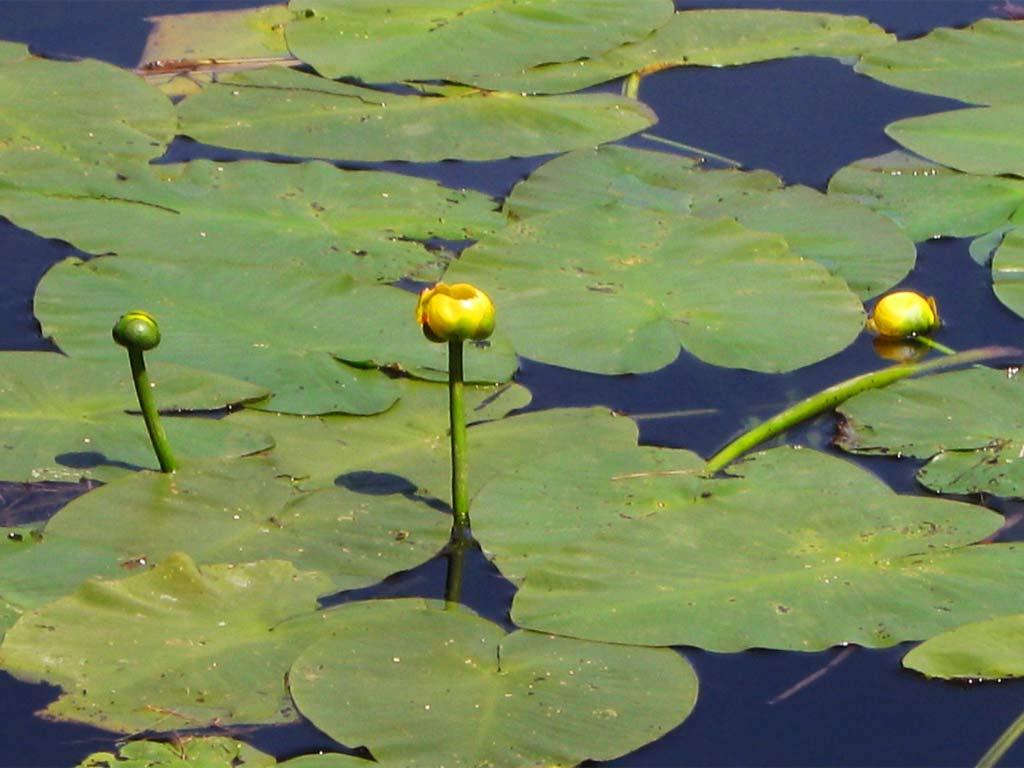 Pond Plant Identification