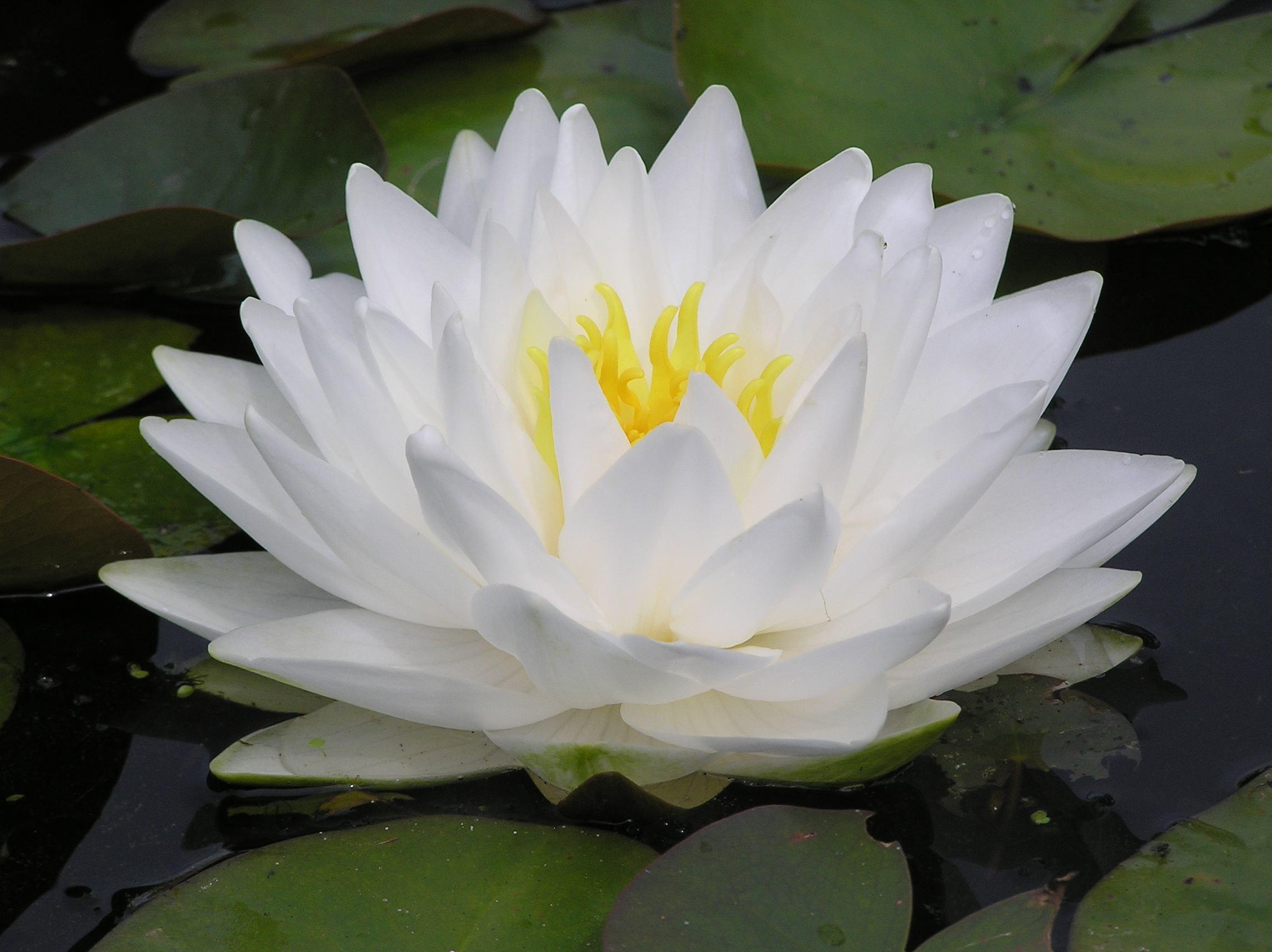 Best Oxygenating Pond Plants