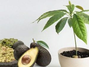 El aguacate es una fruta rica en fibra y en calorías, pero baja en carbohidratos, sin sodio ni colesterol