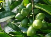 Loquat Fruite