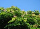 Monkeypod Flowers