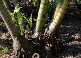 Palm Roots