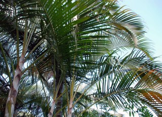 Palm Tops
