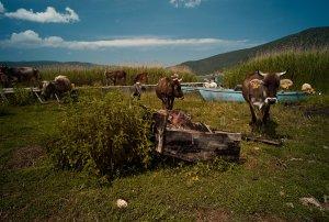 Prespa Island Cows