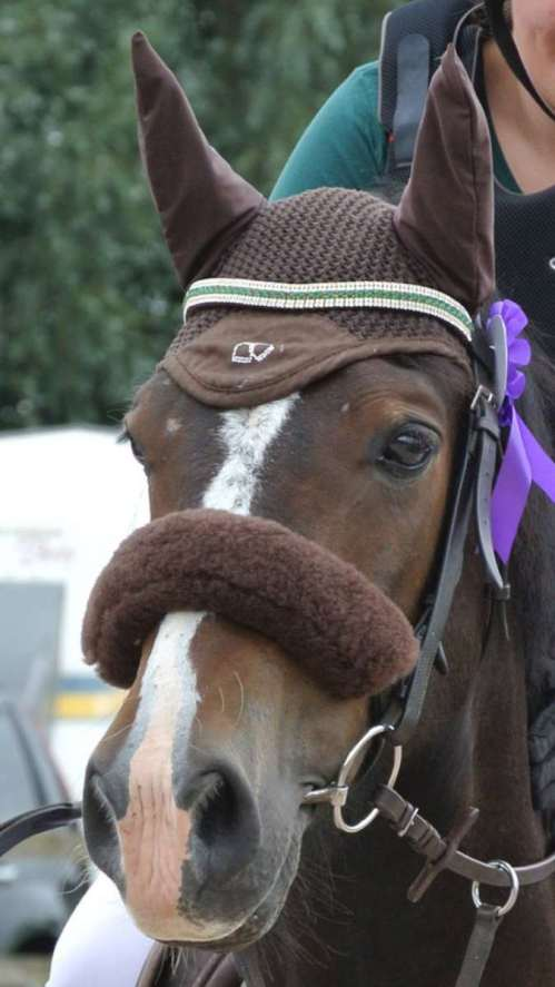 Handsome Welsh Cob Armani in his bespoke crystal browband