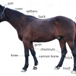 Horse Anatomy 101 Learn About A Horse S Body Parts Pony Dreams