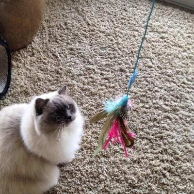 """Sam""-Ragdoll Cat"