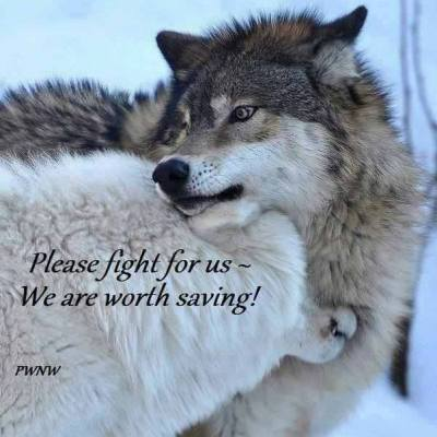 Wolves Are Beautiful