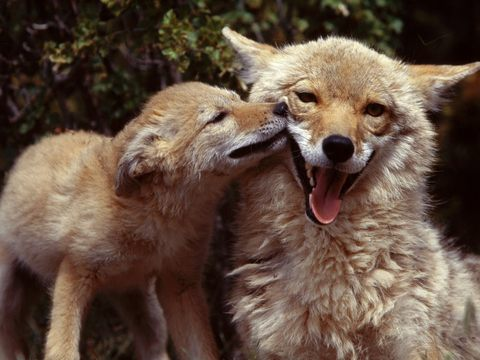 How You And Your Pets Can Live Safely And Peacefully With Coyotes-Wildlife Blog Post 1