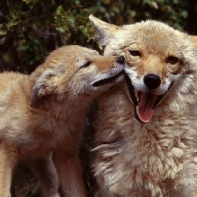 Mother and Baby Coyote
