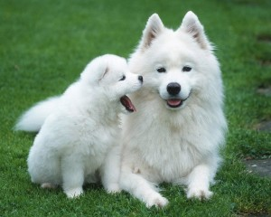 Puppies-White-Wallpaper-Picture-300x240
