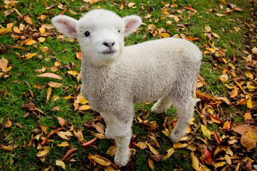 Irish Little Lamb