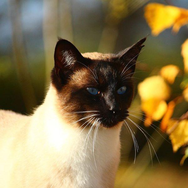 siamese cat breed profile