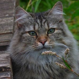 norwegian forest cat breed profile