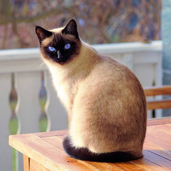 60 cool Cat names for Siamese