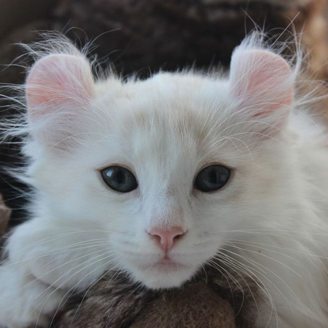 9 beautiful longhaired cat breeds
