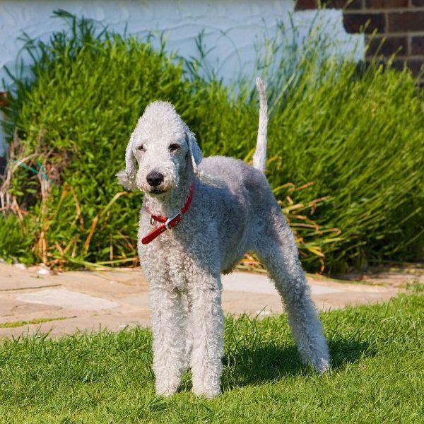 best hypoallergenic dogs