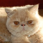 exotic shorthair cat breed profile