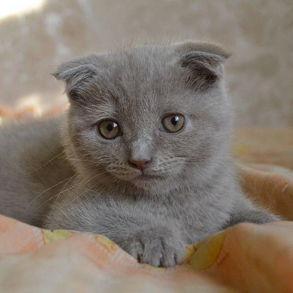 scottish fold cat breed profile