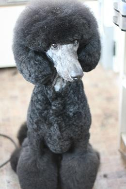 Japanese Style Grooming Poodle Forum Standard Poodle