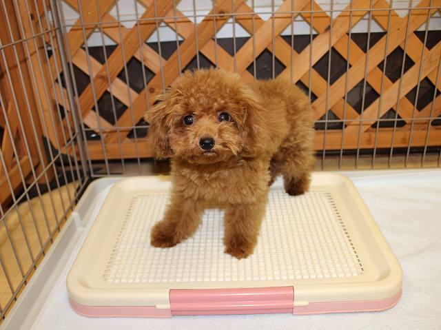 トイプードルの子犬のしつけについて解説します