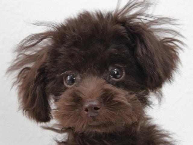 トイプードルのブラウンの子犬画像
