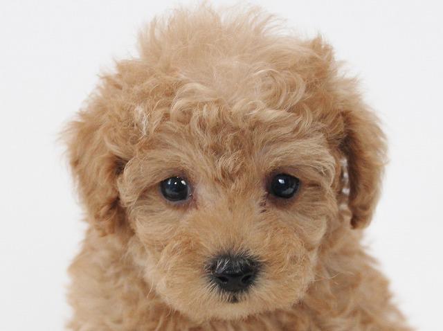 トイプードルの子犬 アプリコットのオス