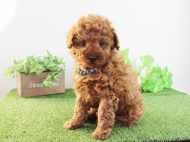 toy-poodle1212b3
