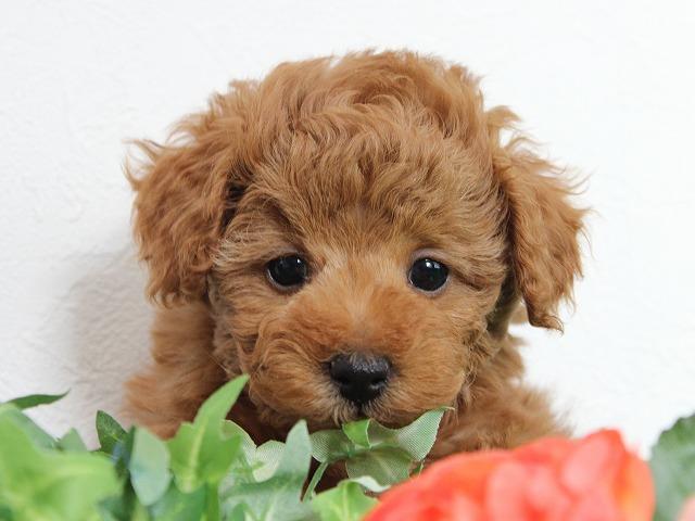 トイプードルの子犬(11月26日生まれ)